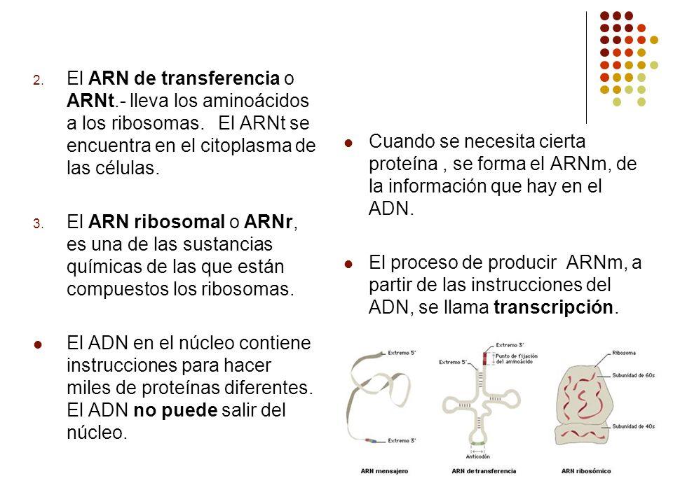 2. El ARN de transferencia o ARNt.- lleva los aminoácidos a los ribosomas. El ARNt se encuentra en el citoplasma de las células. 3. El ARN ribosomal o