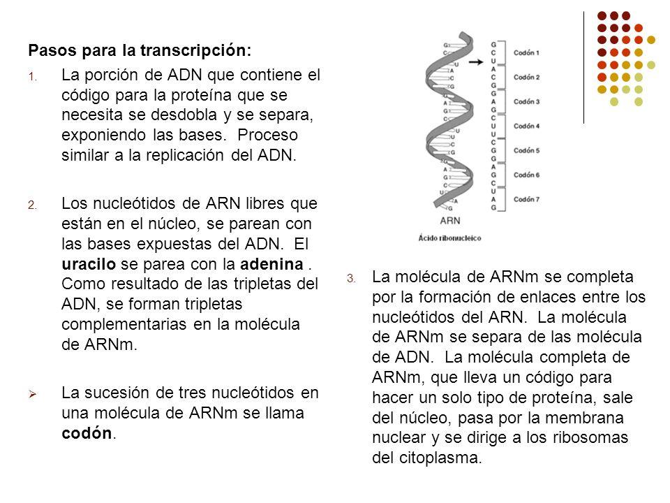 Pasos para la transcripción: 1. La porción de ADN que contiene el código para la proteína que se necesita se desdobla y se separa, exponiendo las base