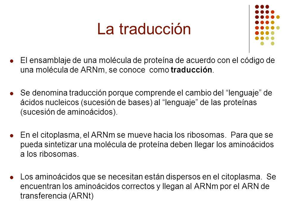 La traducción El ensamblaje de una molécula de proteína de acuerdo con el código de una molécula de ARNm, se conoce como traducción. Se denomina tradu