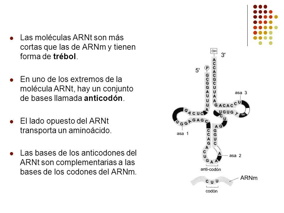 Las moléculas ARNt son más cortas que las de ARNm y tienen forma de trébol. En uno de los extremos de la molécula ARNt, hay un conjunto de bases llama