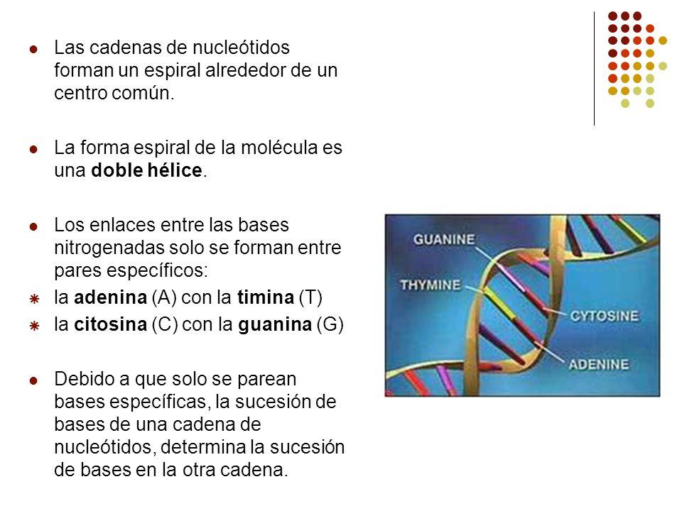 Las cadenas de nucleótidos forman un espiral alrededor de un centro común. La forma espiral de la molécula es una doble hélice. Los enlaces entre las
