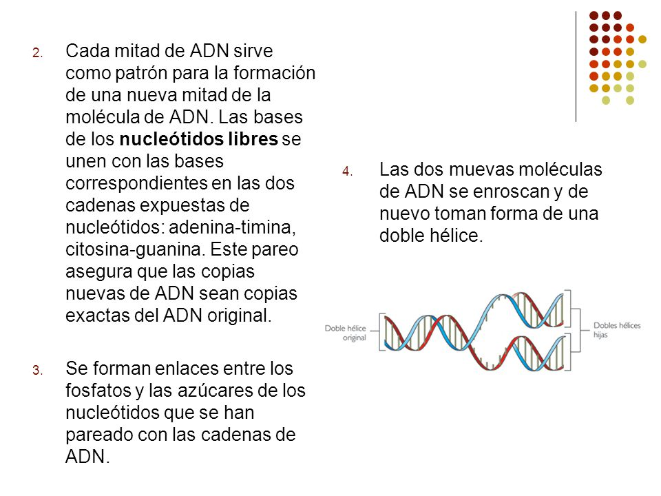 2. Cada mitad de ADN sirve como patrón para la formación de una nueva mitad de la molécula de ADN. Las bases de los nucleótidos libres se unen con las