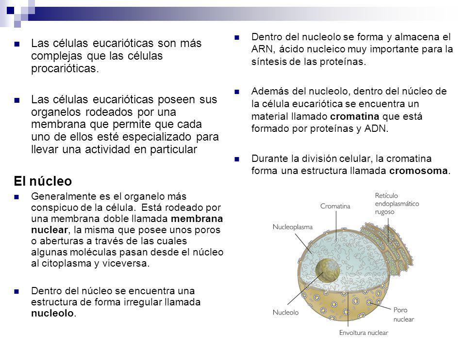 Las células eucarióticas son más complejas que las células procarióticas. Las células eucarióticas poseen sus organelos rodeados por una membrana que