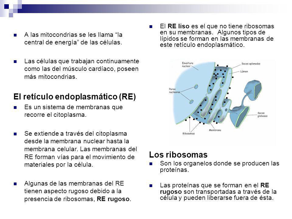A las mitocondrias se les llama la central de energía de las células. Las células que trabajan continuamente como las del músculo cardíaco, poseen más