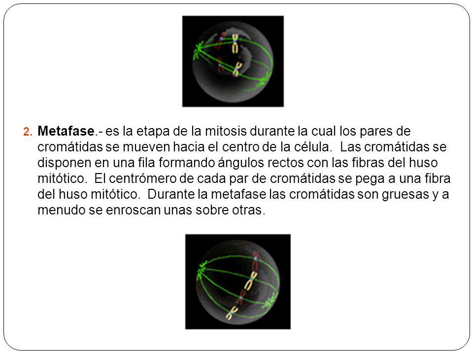2. Metafase.- es la etapa de la mitosis durante la cual los pares de cromátidas se mueven hacia el centro de la célula. Las cromátidas se disponen en