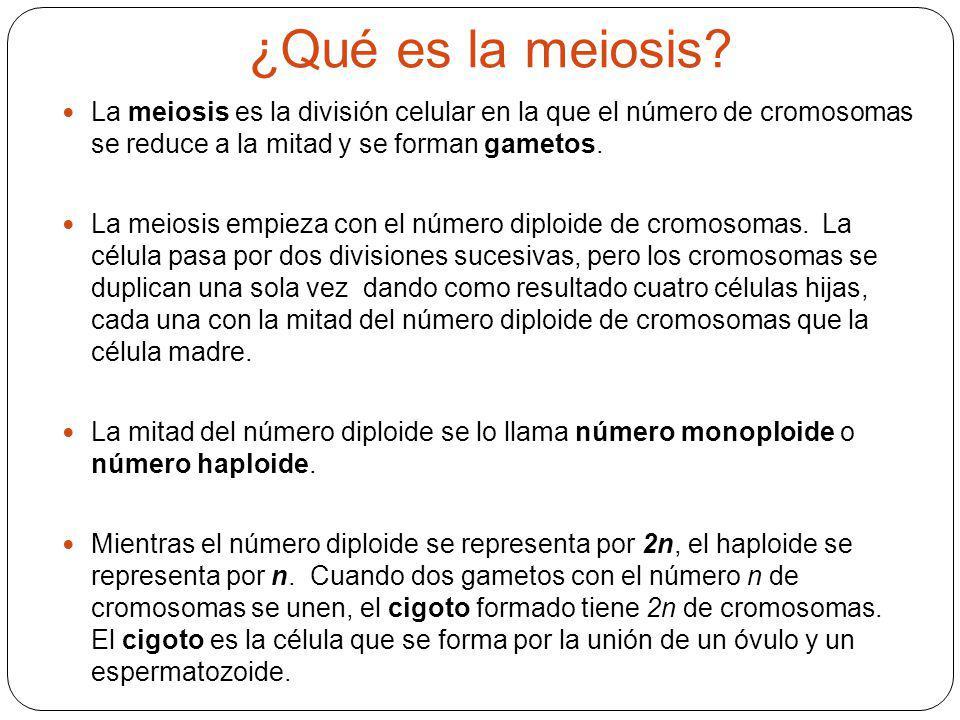 ¿Qué es la meiosis? La meiosis es la división celular en la que el número de cromosomas se reduce a la mitad y se forman gametos. La meiosis empieza c