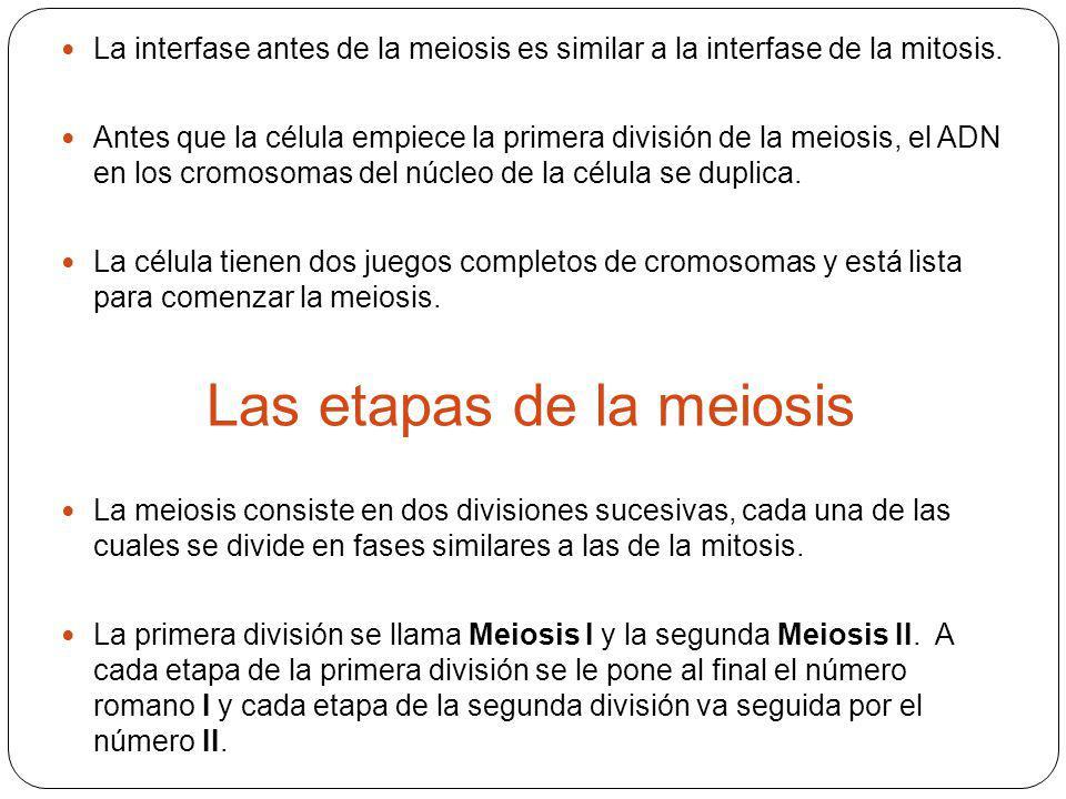 La interfase antes de la meiosis es similar a la interfase de la mitosis. Antes que la célula empiece la primera división de la meiosis, el ADN en los