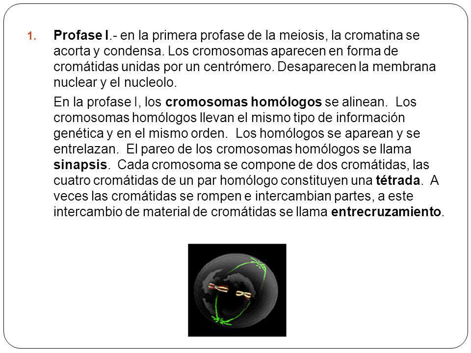 1. Profase I.- en la primera profase de la meiosis, la cromatina se acorta y condensa. Los cromosomas aparecen en forma de cromátidas unidas por un ce