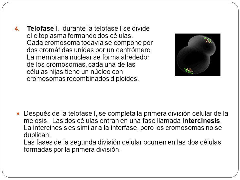 4. Telofase I.- durante la telofase I se divide el citoplasma formando dos células. Cada cromosoma todavía se compone por dos cromátidas unidas por un