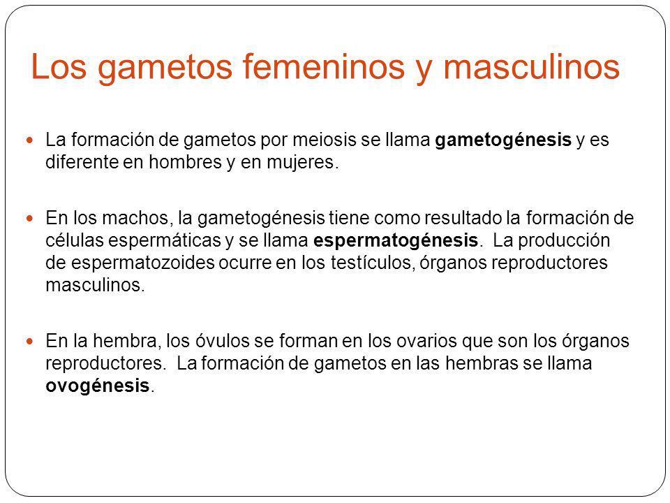 Los gametos femeninos y masculinos La formación de gametos por meiosis se llama gametogénesis y es diferente en hombres y en mujeres.