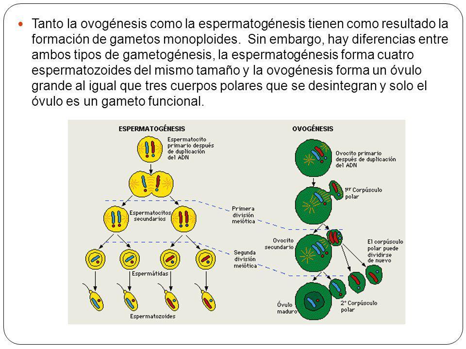 Tanto la ovogénesis como la espermatogénesis tienen como resultado la formación de gametos monoploides. Sin embargo, hay diferencias entre ambos tipos