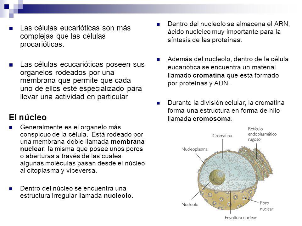 Las células eucarióticas son más complejas que las células procarióticas. Las células ecucarióticas poseen sus organelos rodeados por una membrana que