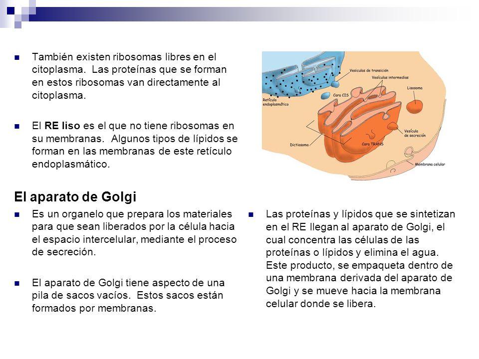 También existen ribosomas libres en el citoplasma.