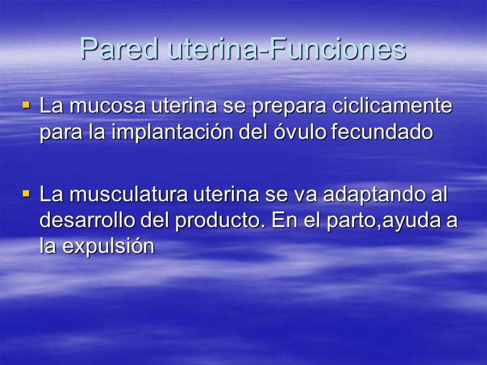 Pared uterina-Funciones La mucosa uterina se prepara ciclicamente para la implantación del óvulo fecundado La mucosa uterina se prepara ciclicamente p