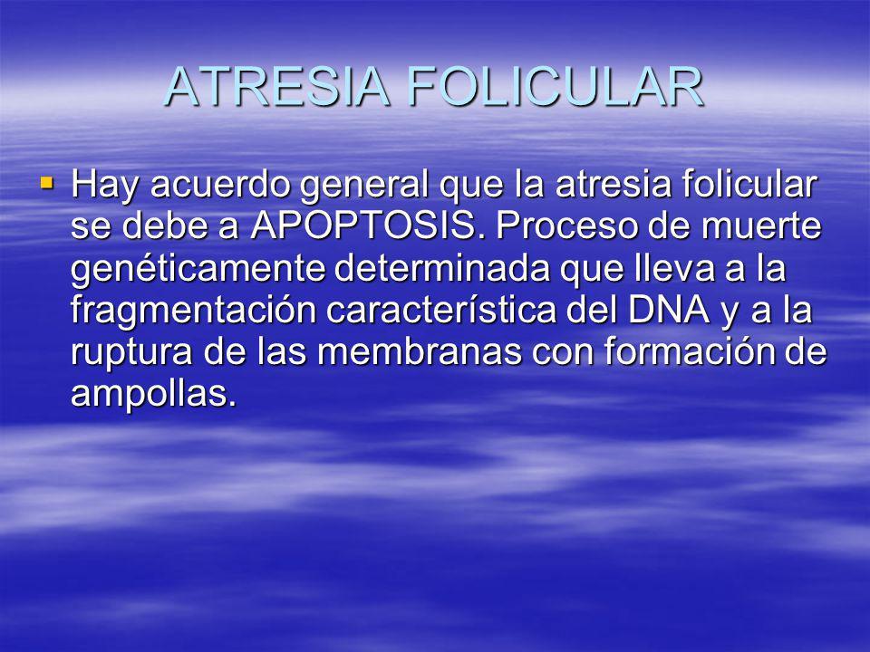 ATRESIA FOLICULAR Hay acuerdo general que la atresia folicular se debe a APOPTOSIS. Proceso de muerte genéticamente determinada que lleva a la fragmen