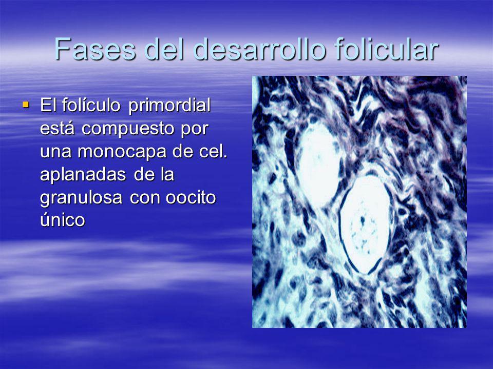 Fases del desarrollo folicular El folículo primordial está compuesto por una monocapa de cel. aplanadas de la granulosa con oocito único El folículo p