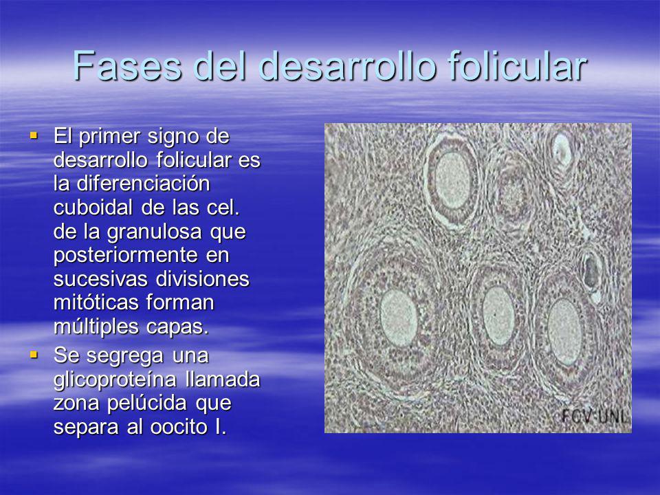 Fases del desarrollo folicular El primer signo de desarrollo folicular es la diferenciación cuboidal de las cel. de la granulosa que posteriormente en