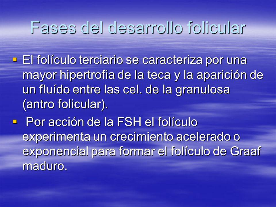Fases del desarrollo folicular El folículo terciario se caracteriza por una mayor hipertrofia de la teca y la aparición de un fluído entre las cel. de
