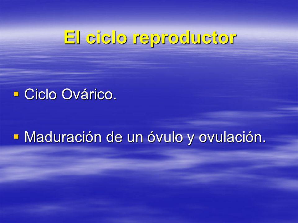 El ciclo reproductor Ciclo Ovárico. Ciclo Ovárico. Maduración de un óvulo y ovulación. Maduración de un óvulo y ovulación.