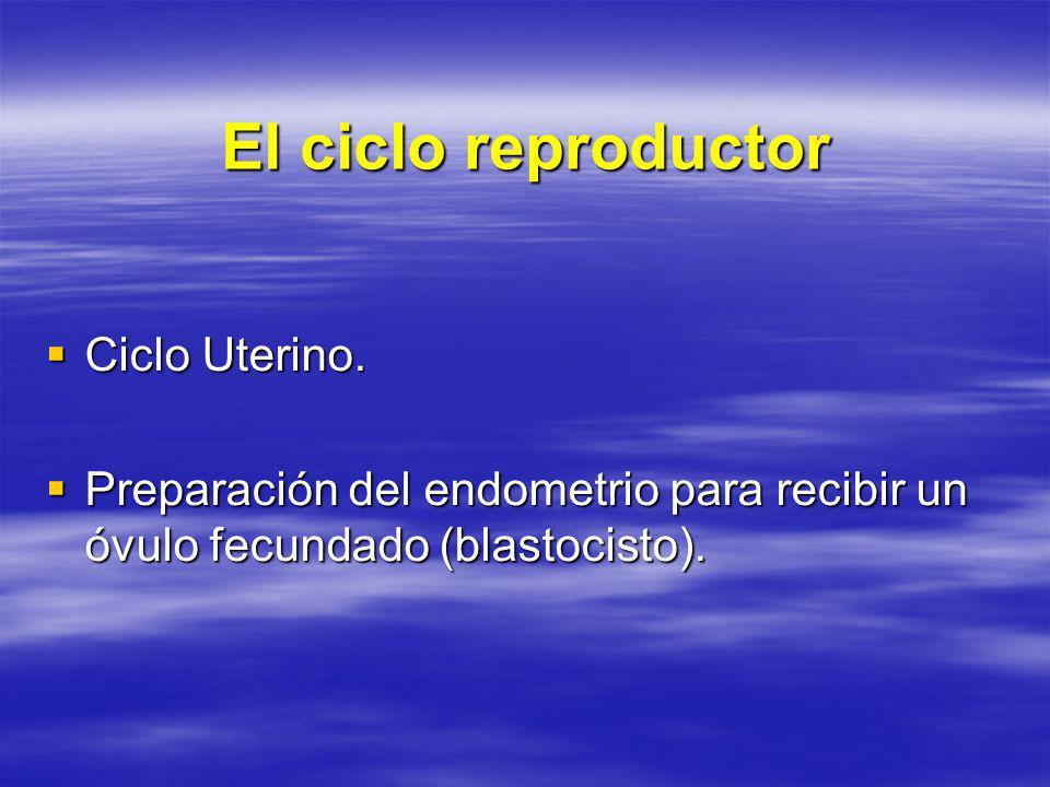 El ciclo reproductor Ciclo Uterino. Ciclo Uterino. Preparación del endometrio para recibir un óvulo fecundado (blastocisto). Preparación del endometri