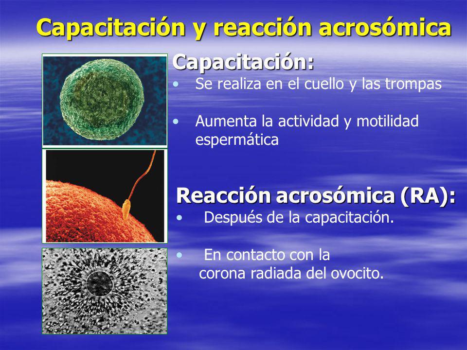 Capacitación y reacción acrosómica Capacitación: Se realiza en el cuello y las trompas Aumenta la actividad y motilidad espermática Reacción acrosómic