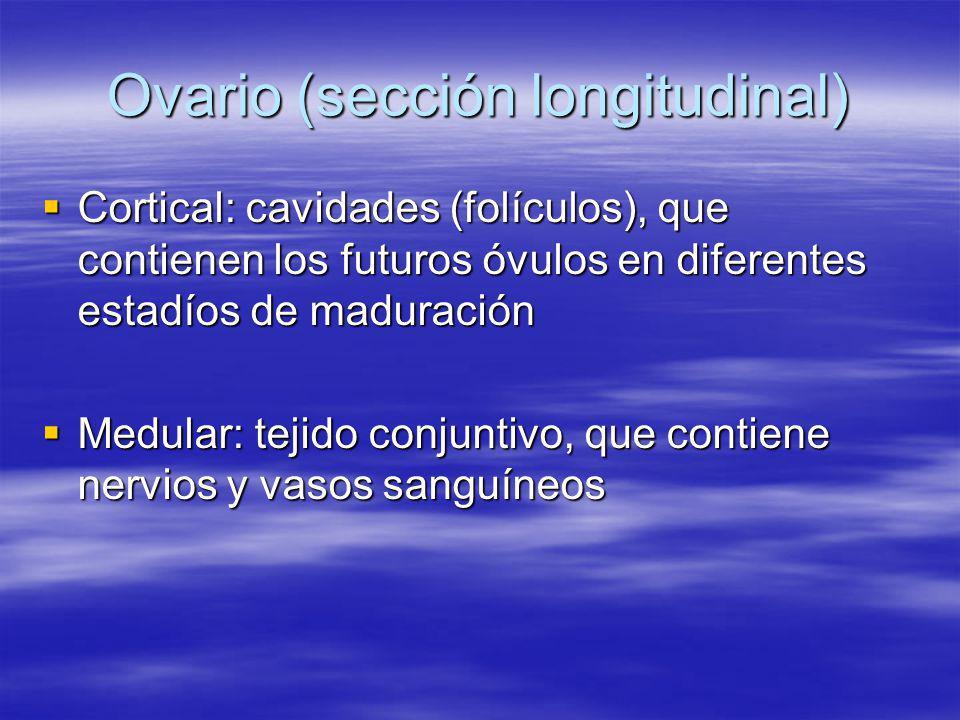 Ovario (sección longitudinal) Cortical: cavidades (folículos), que contienen los futuros óvulos en diferentes estadíos de maduración Cortical: cavidad