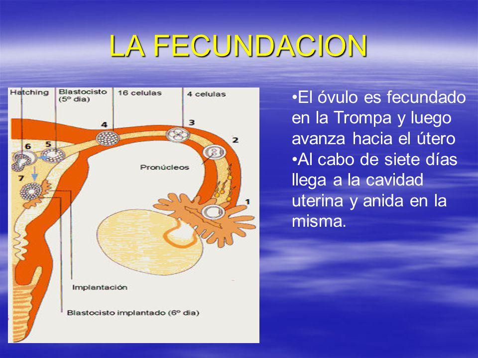 LA FECUNDACION El óvulo es fecundado en la Trompa y luego avanza hacia el útero Al cabo de siete días llega a la cavidad uterina y anida en la misma.