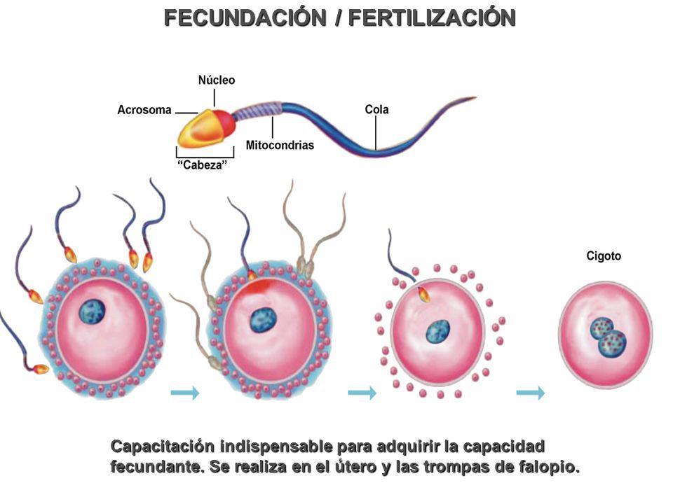 FECUNDACIÓN / FERTILIZACIÓN Capacitación indispensable para adquirir la capacidad fecundante. Se realiza en el útero y las trompas de falopio.