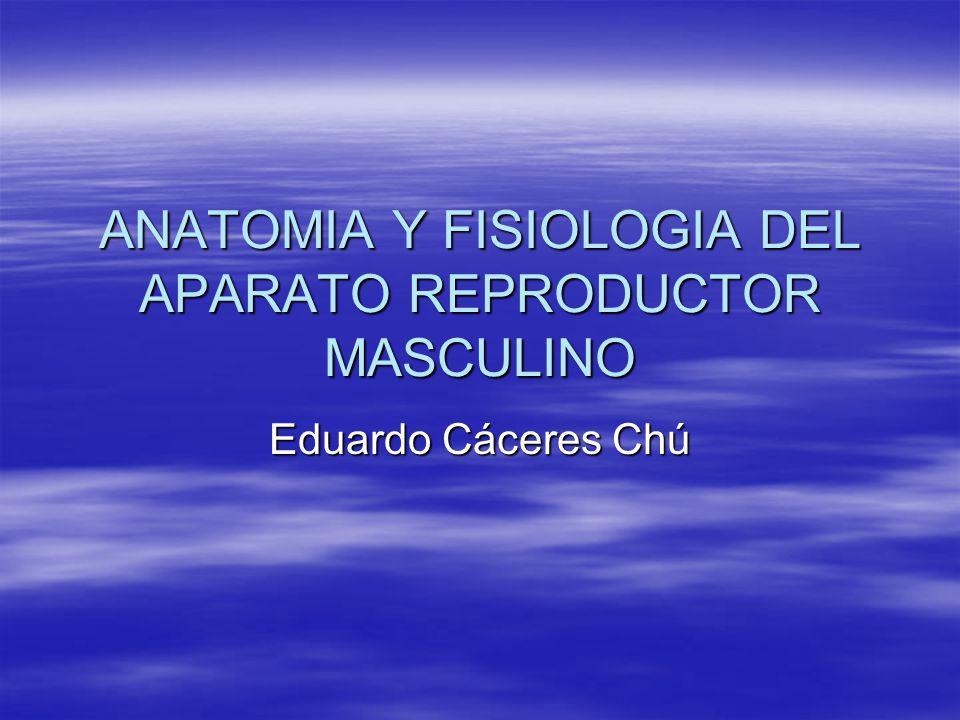 ANATOMIA Y FISIOLOGIA DEL APARATO REPRODUCTOR MASCULINO Eduardo Cáceres Chú