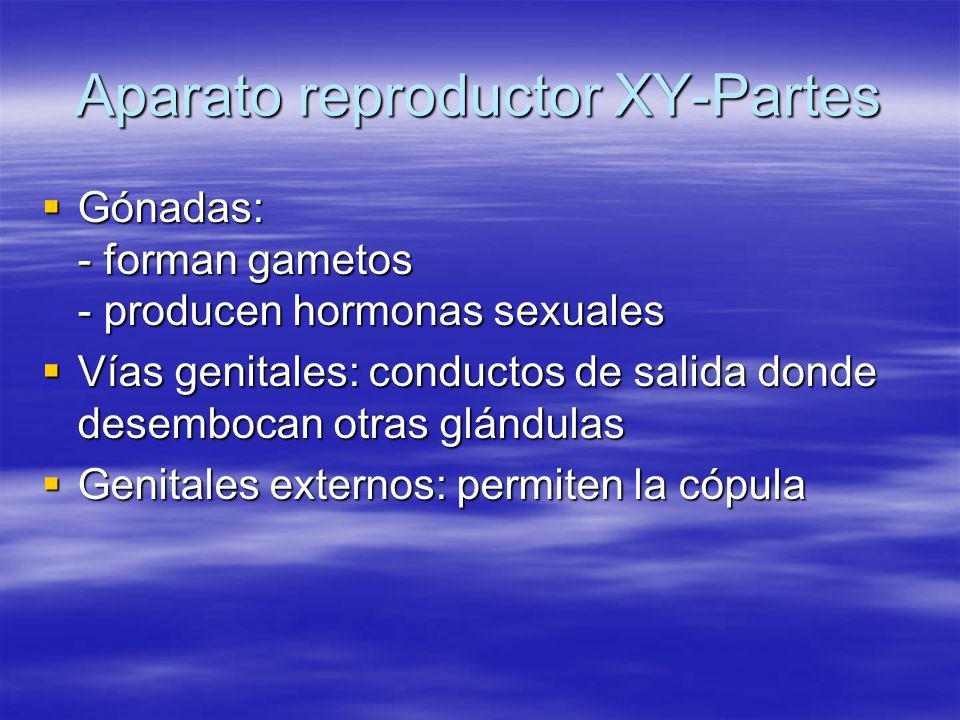 Aparato reproductor XY-Partes Gónadas: - forman gametos - producen hormonas sexuales Gónadas: - forman gametos - producen hormonas sexuales Vías genit