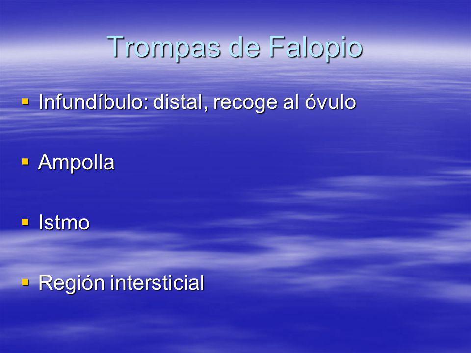 Trompas de Falopio Infundíbulo: distal, recoge al óvulo Infundíbulo: distal, recoge al óvulo Ampolla Ampolla Istmo Istmo Región intersticial Región in