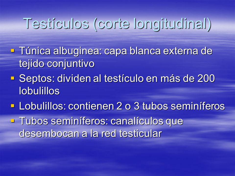 Testículos (corte longitudinal) Túnica albuginea: capa blanca externa de tejido conjuntivo Túnica albuginea: capa blanca externa de tejido conjuntivo
