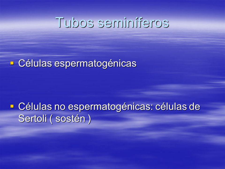 Tubos seminíferos Células espermatogénicas Células espermatogénicas Células no espermatogénicas: células de Sertoli ( sostén ) Células no espermatogén