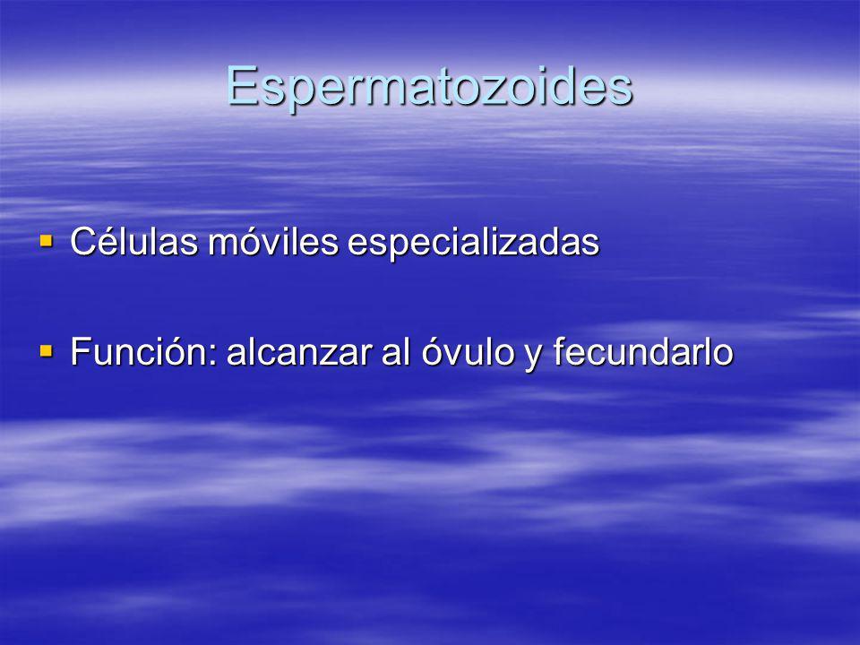 Espermatozoides Células móviles especializadas Células móviles especializadas Función: alcanzar al óvulo y fecundarlo Función: alcanzar al óvulo y fec