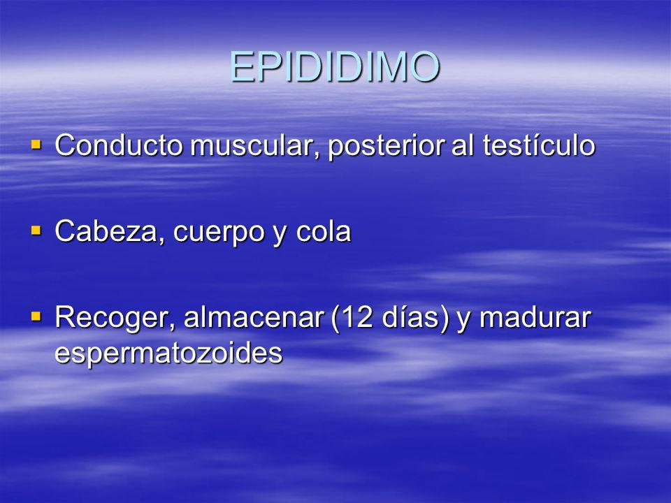 EPIDIDIMO Conducto muscular, posterior al testículo Conducto muscular, posterior al testículo Cabeza, cuerpo y cola Cabeza, cuerpo y cola Recoger, alm