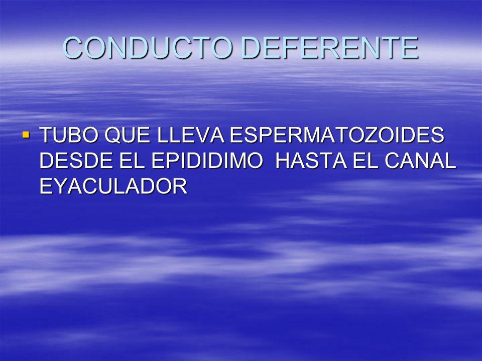 CONDUCTO DEFERENTE TUBO QUE LLEVA ESPERMATOZOIDES DESDE EL EPIDIDIMO HASTA EL CANAL EYACULADOR TUBO QUE LLEVA ESPERMATOZOIDES DESDE EL EPIDIDIMO HASTA