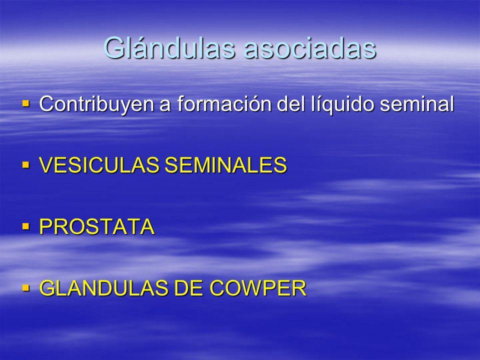 Glándulas asociadas Contribuyen a formación del líquido seminal Contribuyen a formación del líquido seminal VESICULAS SEMINALES VESICULAS SEMINALES PR
