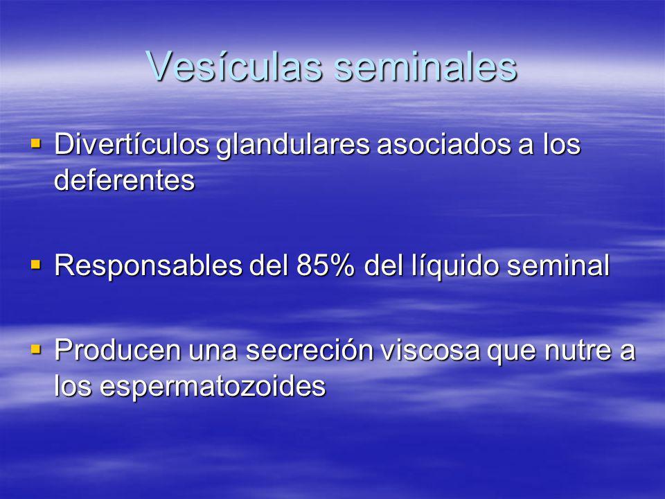 Vesículas seminales Divertículos glandulares asociados a los deferentes Divertículos glandulares asociados a los deferentes Responsables del 85% del l