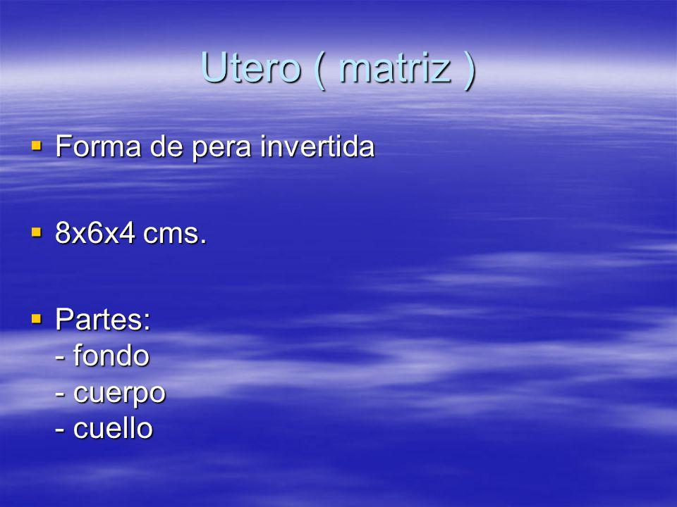 Utero ( matriz ) Forma de pera invertida Forma de pera invertida 8x6x4 cms. 8x6x4 cms. Partes: - fondo - cuerpo - cuello Partes: - fondo - cuerpo - cu