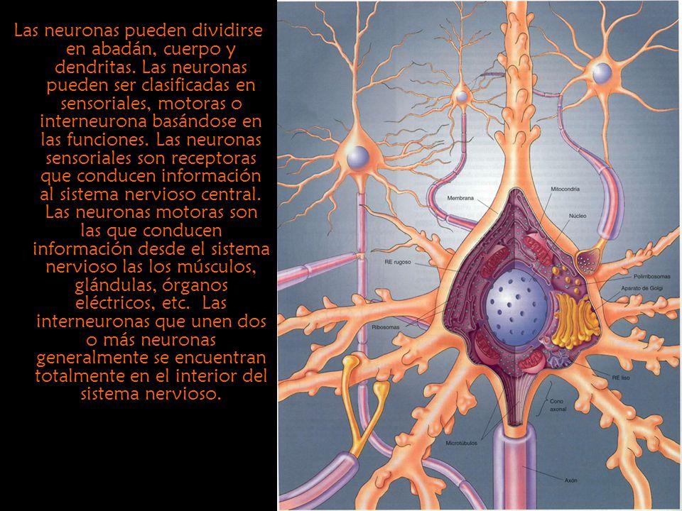 Las neuronas pueden dividirse en abadán, cuerpo y dendritas. Las neuronas pueden ser clasificadas en sensoriales, motoras o interneurona basándose en