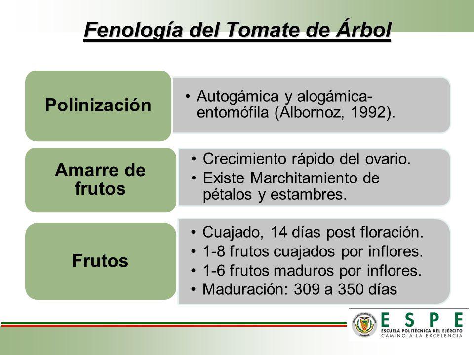 Fenología del Tomate de Árbol Autogámica y alogámica- entomófila (Albornoz, 1992). Polinización Crecimiento rápido del ovario. Existe Marchitamiento d