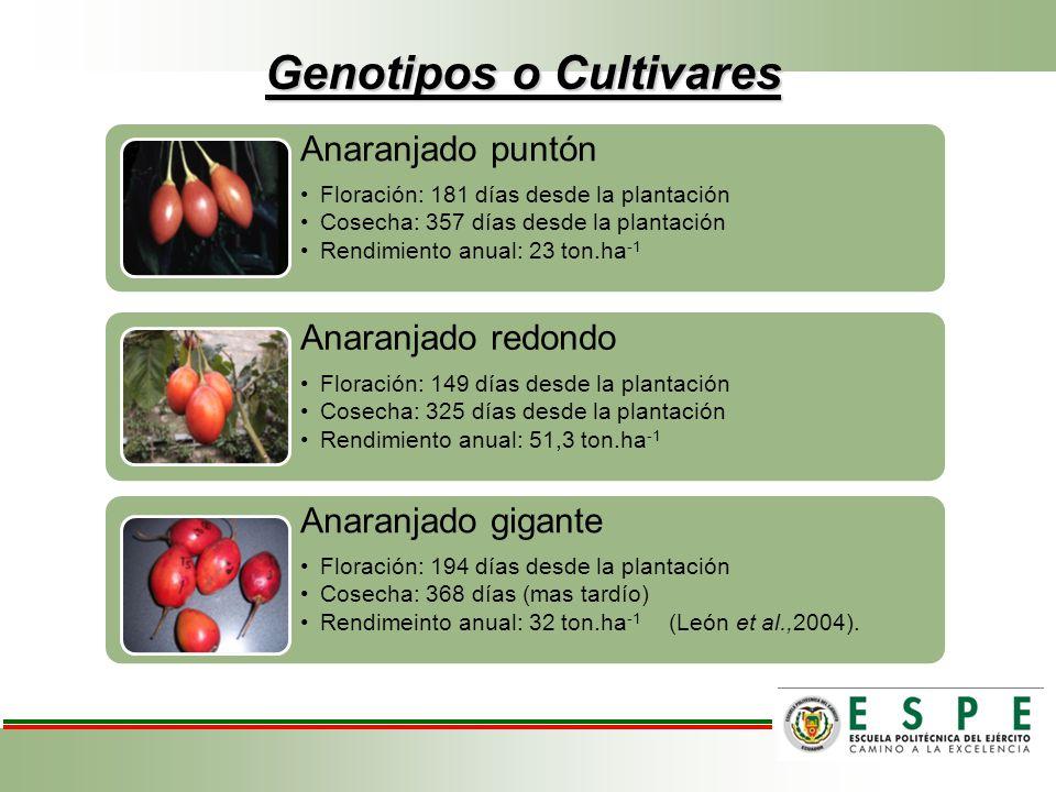 Genotipos o Cultivares Anaranjado puntón Floración: 181 días desde la plantación Cosecha: 357 días desde la plantación Rendimiento anual: 23 ton.ha -1