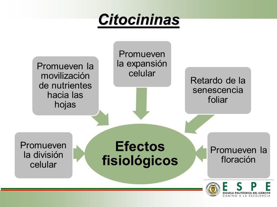Citocininas Efectos fisiológicos Promueven la división celular Promueven la movilización de nutrientes hacia las hojas Promueven la expansión celular