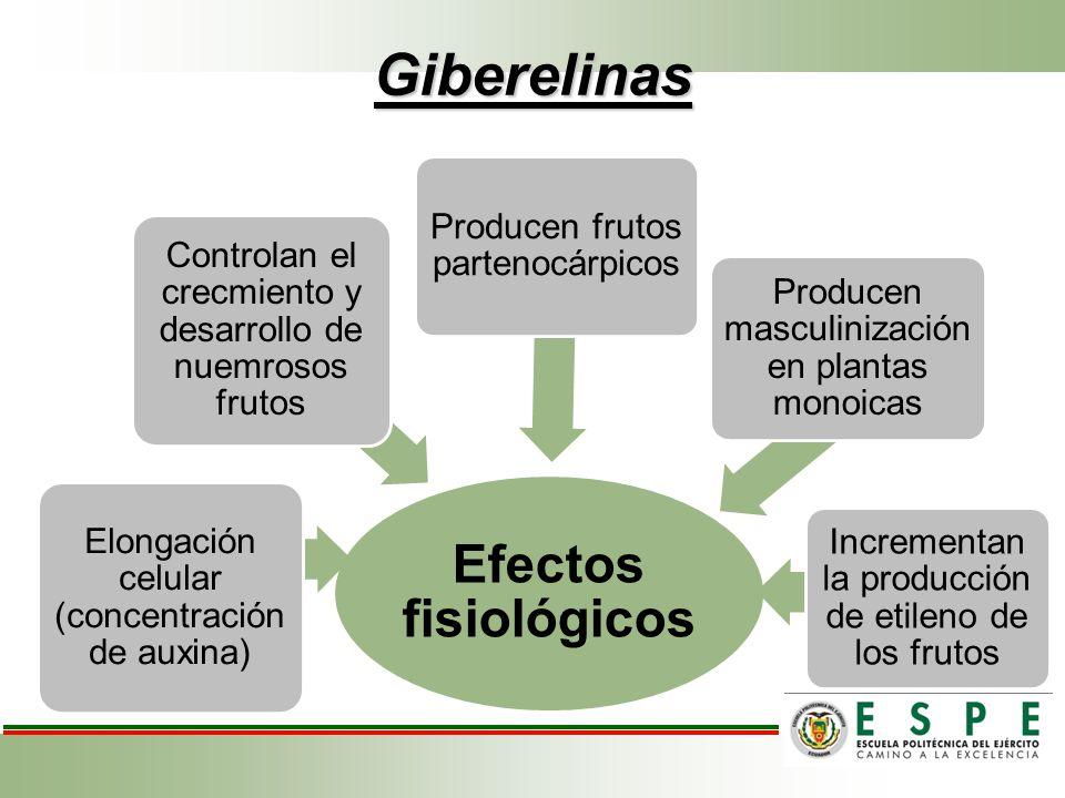Giberelinas Efectos fisiológicos Elongación celular (concentración de auxina) Controlan el crecmiento y desarrollo de nuemrosos frutos Producen frutos