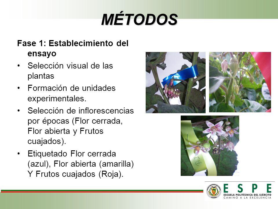 MÉTODOS Fase 1: Establecimiento del ensayo Selección visual de las plantas Formación de unidades experimentales. Selección de inflorescencias por époc