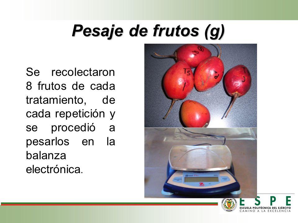 Pesaje de frutos (g) Se recolectaron 8 frutos de cada tratamiento, de cada repetición y se procedió a pesarlos en la balanza electrónica.