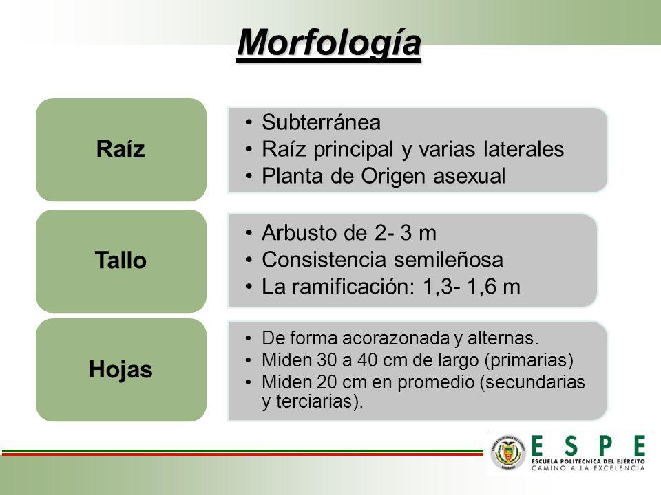 Morfología Subterránea Raíz principal y varias laterales Planta de Origen asexual Raíz Arbusto de 2- 3 m Consistencia semileñosa La ramificación: 1,3-