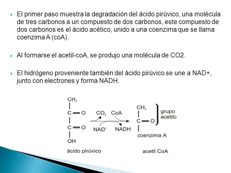 El primer paso muestra la degradación del ácido pirúvico, una molécula de tres carbonos a un compuesto de dos carbonos, este compuesto de dos carbonos es el ácido acético, unido a una coenzima que se llama coenzima A (coA).