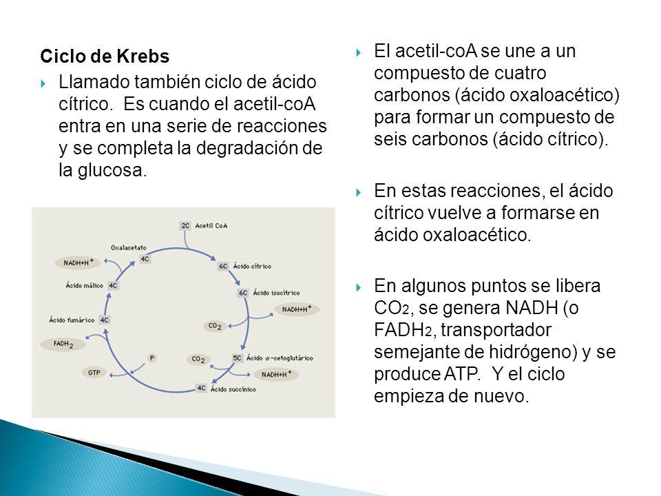 Ciclo de Krebs Llamado también ciclo de ácido cítrico.