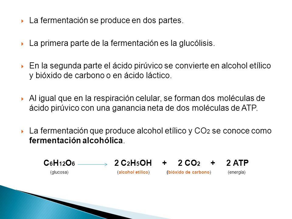 La fermentación se produce en dos partes.La primera parte de la fermentación es la glucólisis.